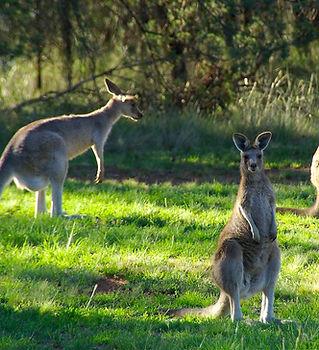 kangaroos Sydney