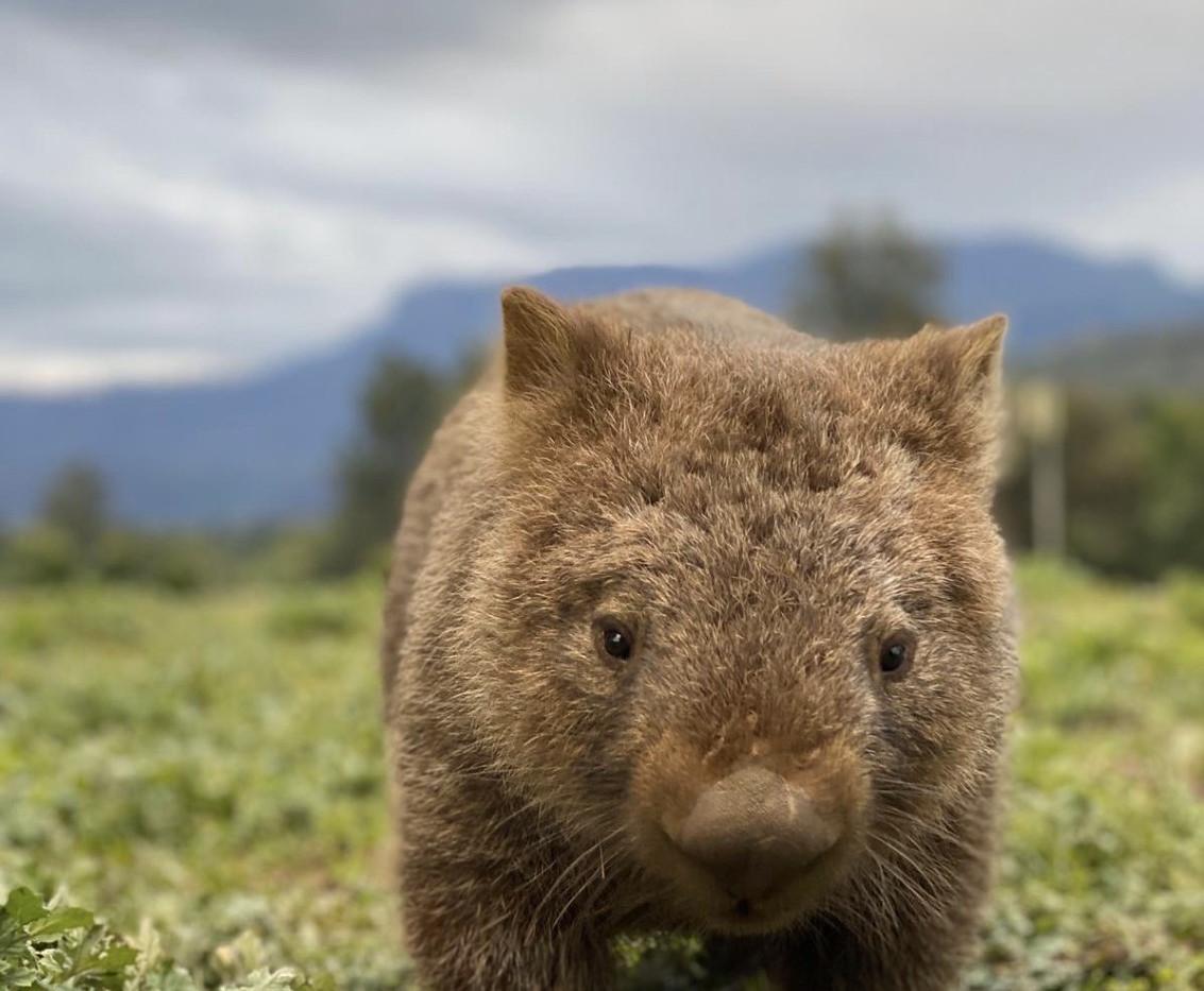 sydney wombat