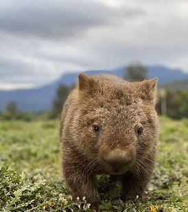 sydney day tour wombat.jpg