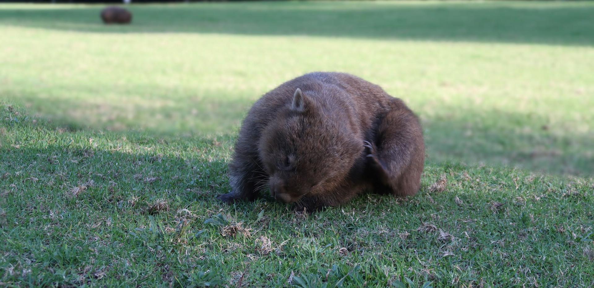 Wombat scratching