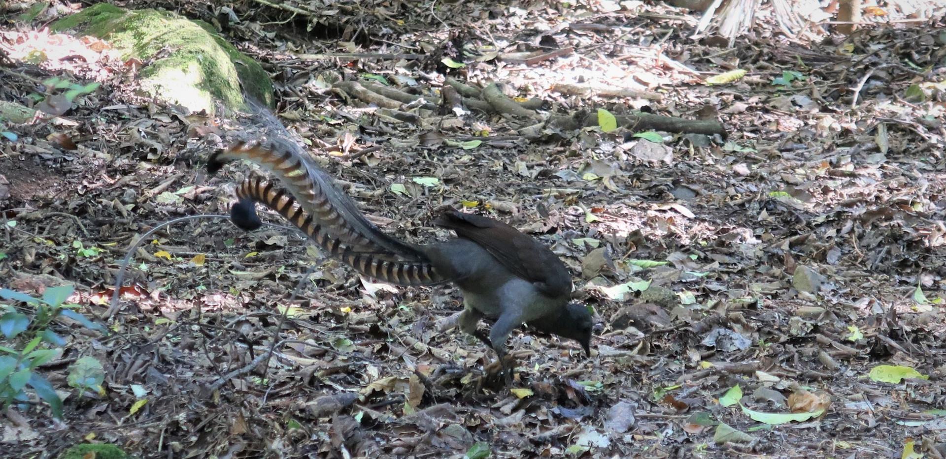 Lyre Bird in National park Sydney