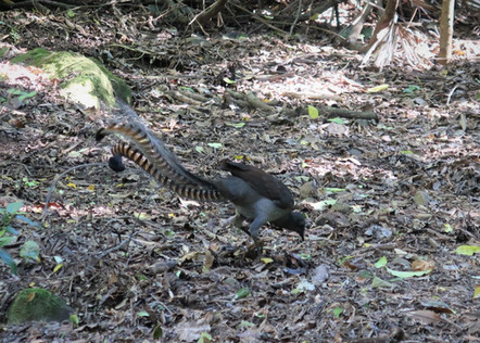 Lyre Bird in National park Sydney