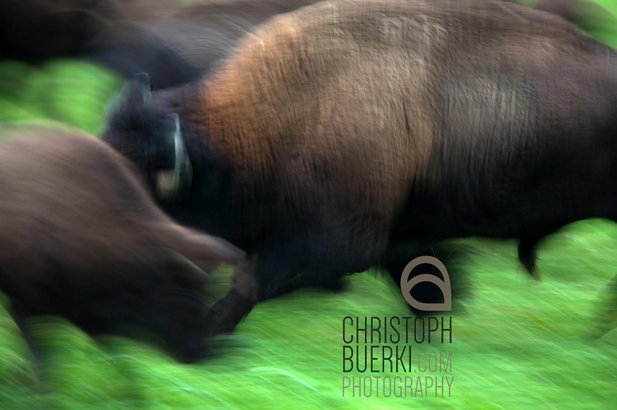 bison blurred