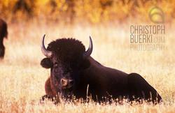 wood bison