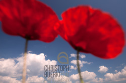 sky and poppies