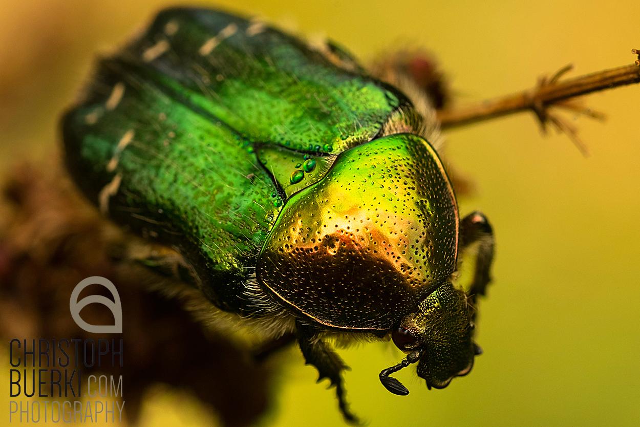 rosenkäfer cetonia aurata