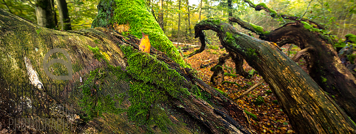 dead tree sababurg