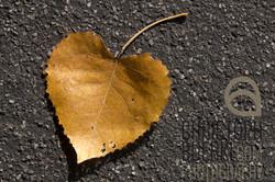 heartshaped leaf