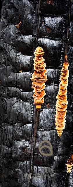 mushroom on burned tree trunk