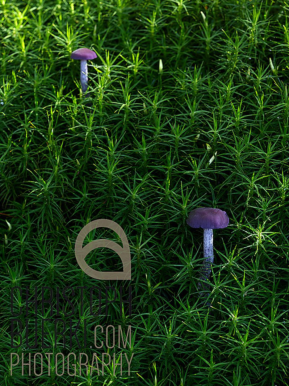 two violet mushrooms