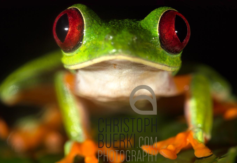 red eyed tree frog II