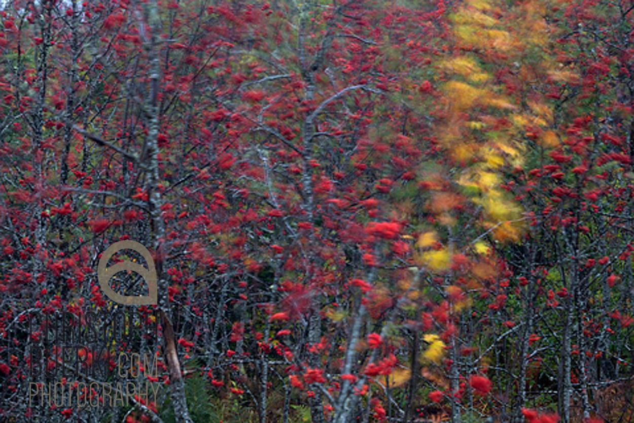 rowan berry and maple