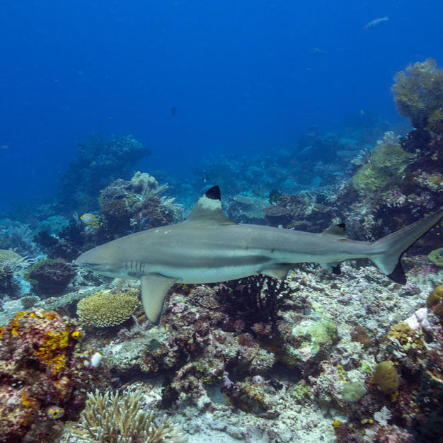 Blacktip Reef Shark, commonly spotted in healthy Raja Ampat reefs