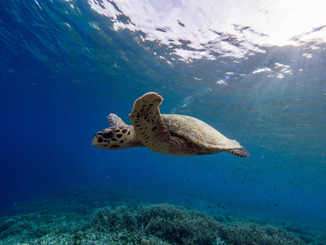 Turtles are commonly spotted. Photo by Dennis@freediver87.