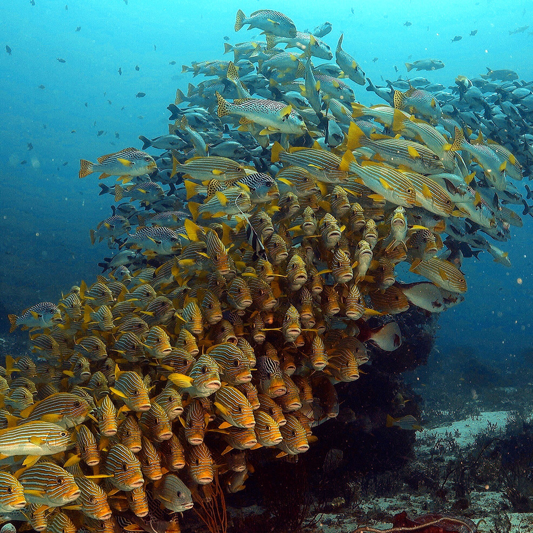 School of Sweetlips at Cape Kri. Photo by Rodolfo Lamprecht.