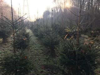 Kerstbomen uit het Kuinderbos