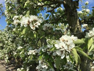 Bloesem in de fruitboomgaard