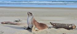 Hooker's Sea Lions -Pounawea (South Island)