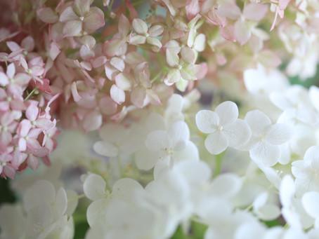 白とピンクのアナベル  Hydrangea Annabel - White and Pink