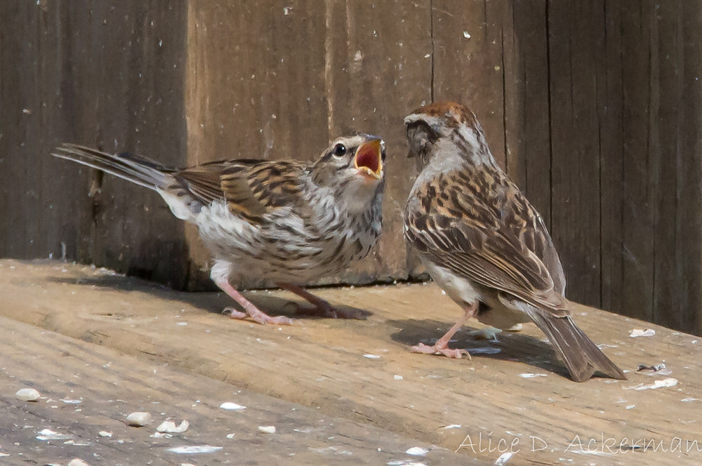 Baby chipping sparrow begging for food