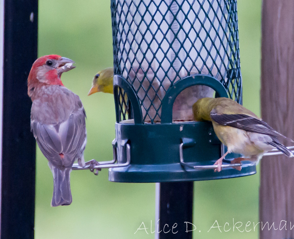 Male housefinch with seed at feeder. Goldfinches at feeder. Closeup.