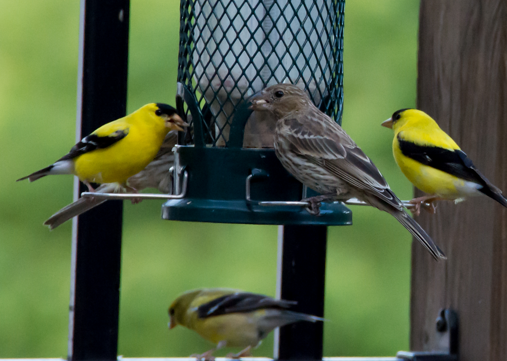 Different finches at a bird feeder. Three are yellow and one is brown
