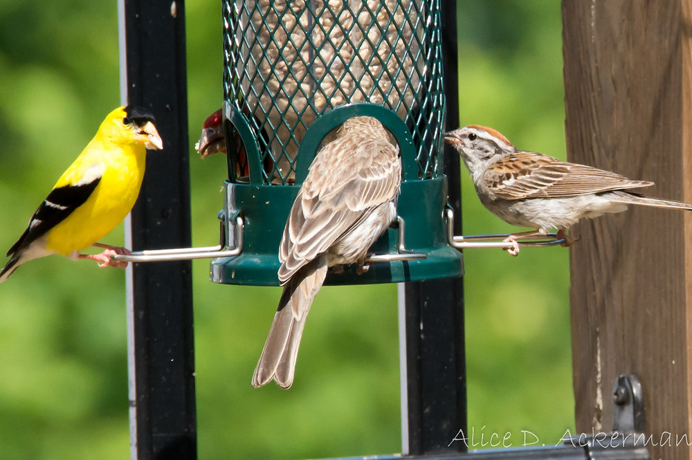 Gold finch, house finch, chipping sparrow at feeder