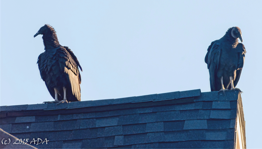 Two black vultures on the author's roof