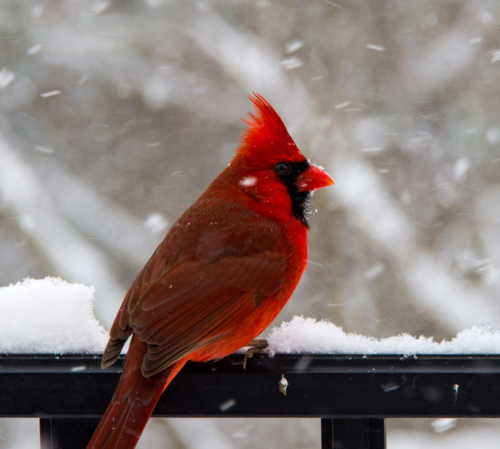 Northern Cardinal on a fence in snowstorm