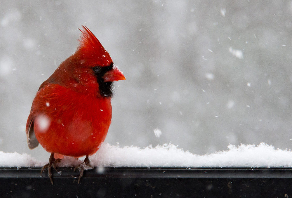 Northern Cardinal on black fence in snowstorm