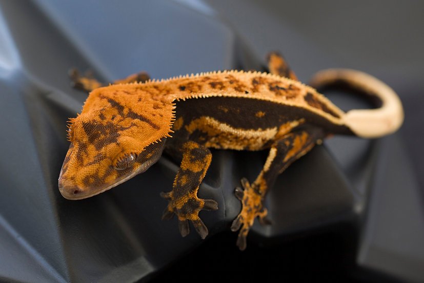 High Contrast Quad Stripe Crested Gecko