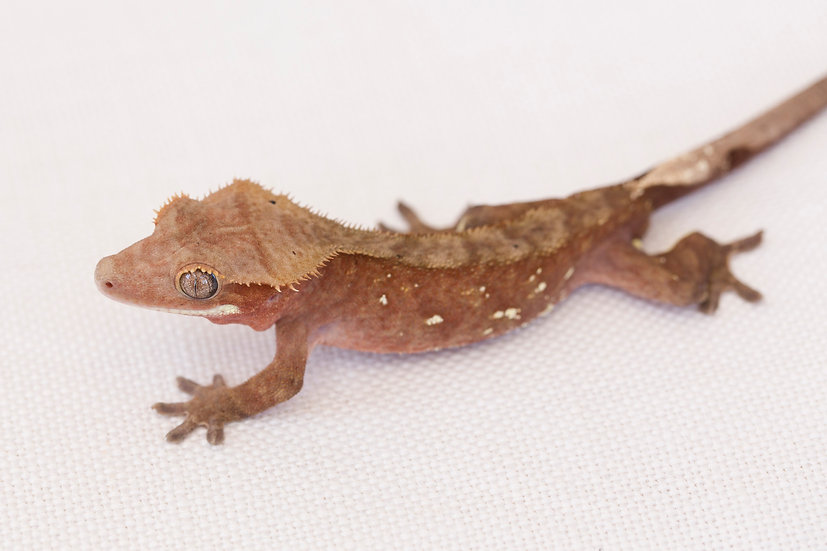 Red White Spot Crested Gecko