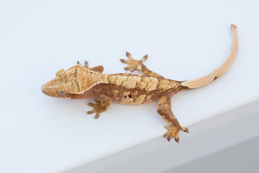 Dark Pink Harlequin Crested Gecko