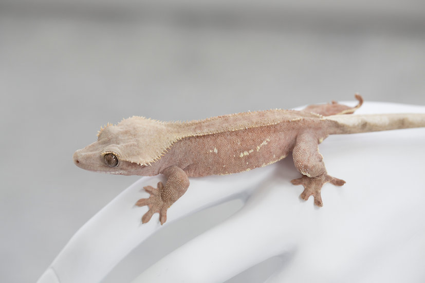 Pink Crested Gecko