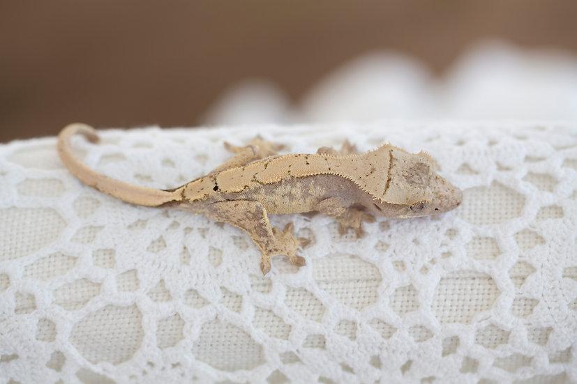 Medium Pink Harlequin Crested Gecko