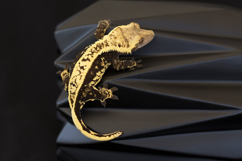 High Contrast Pinstripe Crested Gecko (PET ONLY)