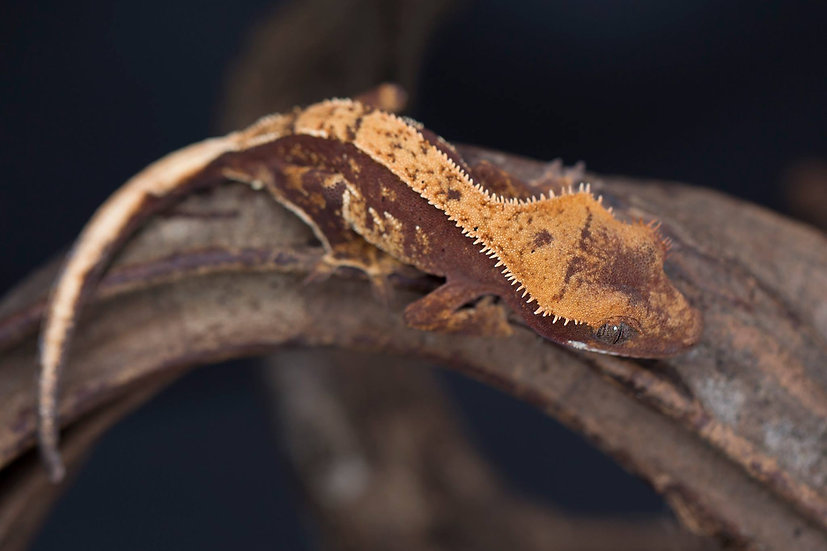 Red Partial Pinstripe Crested Gecko