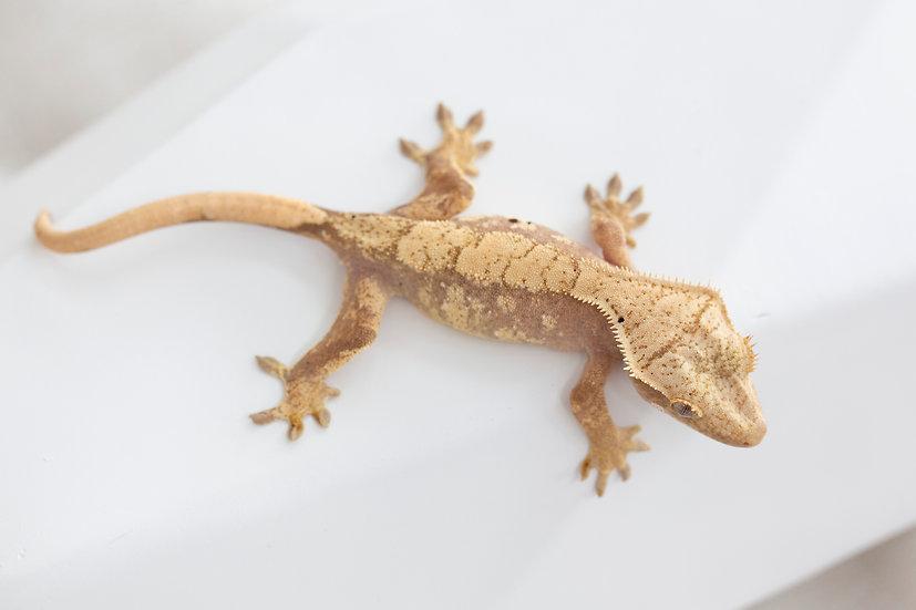 Pink Harlequin Crested Gecko