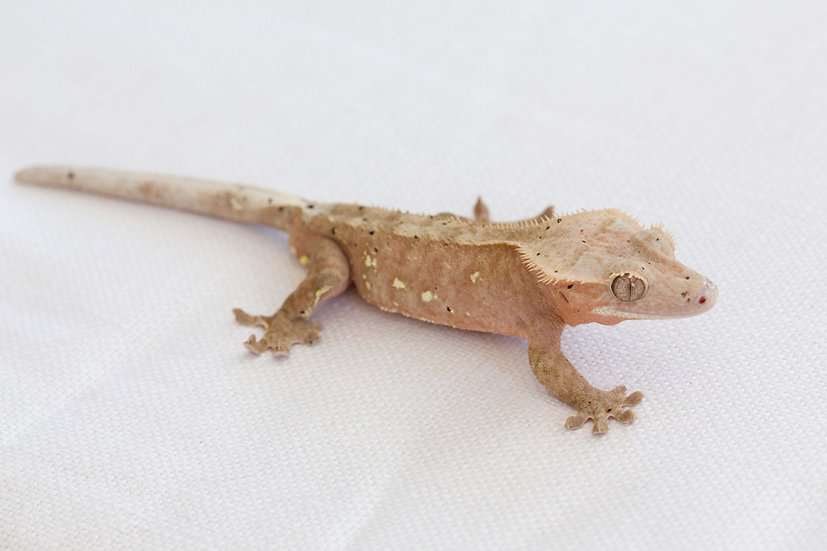Pink Dalmation Crested Gecko