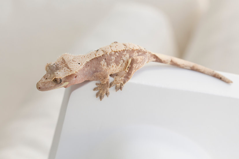 Light Pink Extreme Harlequin Crested Gecko