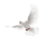 pigeon_PNG3417.png