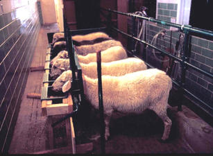 Conducting sheep breed dairy and milking research including sheep from the Navajo Sheep Project in the former vacated Utah State University milking parlor in 1988.  Research proved that Navajo-Churro sheep are excellent milkers, and make excellent cheese and ice cream too.  This project also served as Mrs. Marla Trowbridge's Master of Science Degree thesis.