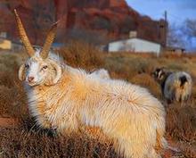 A Navajo Sheep Project 4-horned ram deployed by Navajo Sheep Project to Ella and Joan Delgai near Greasewood, Arizona.  (1996)