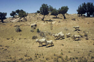 Herding flock in to the pens of Joe Benally's parents near Pinon, AZ in 1991.