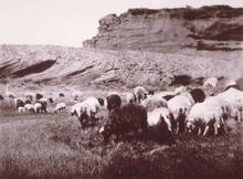 Location of this Edward Curtis photo of Navajo-Churro flock is near Pueblo Pintado, NM, ca 1904.