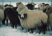 Navajo Sheep Project nucleus flock in Mount Sterling, Utah home site in 1983 winter in Cache Valley, UT.