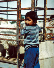 Leo and Barbara Greyeye's son at Tsegi, Arizona, checking out the sheep in the Navajo Sheep Project truck being taken down to the Reservation for Dine' families (1983)