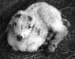 One of Lena Benally's newly arrived Navajo-Churro lambs at Jeddito, AZ in 1993.