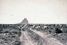 Dine' flock grazing on the forage near Shiprock, NM, ca 1948.