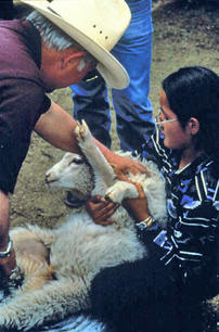 Doc McNeal demonstrating how to vaccinate a lamb to one of Irvin and Marjory Curley's daughters in 1993 near Ganado, AZ.  These sheep belong to the Curley's, longtime friends of the Navajo Sheep Project too.